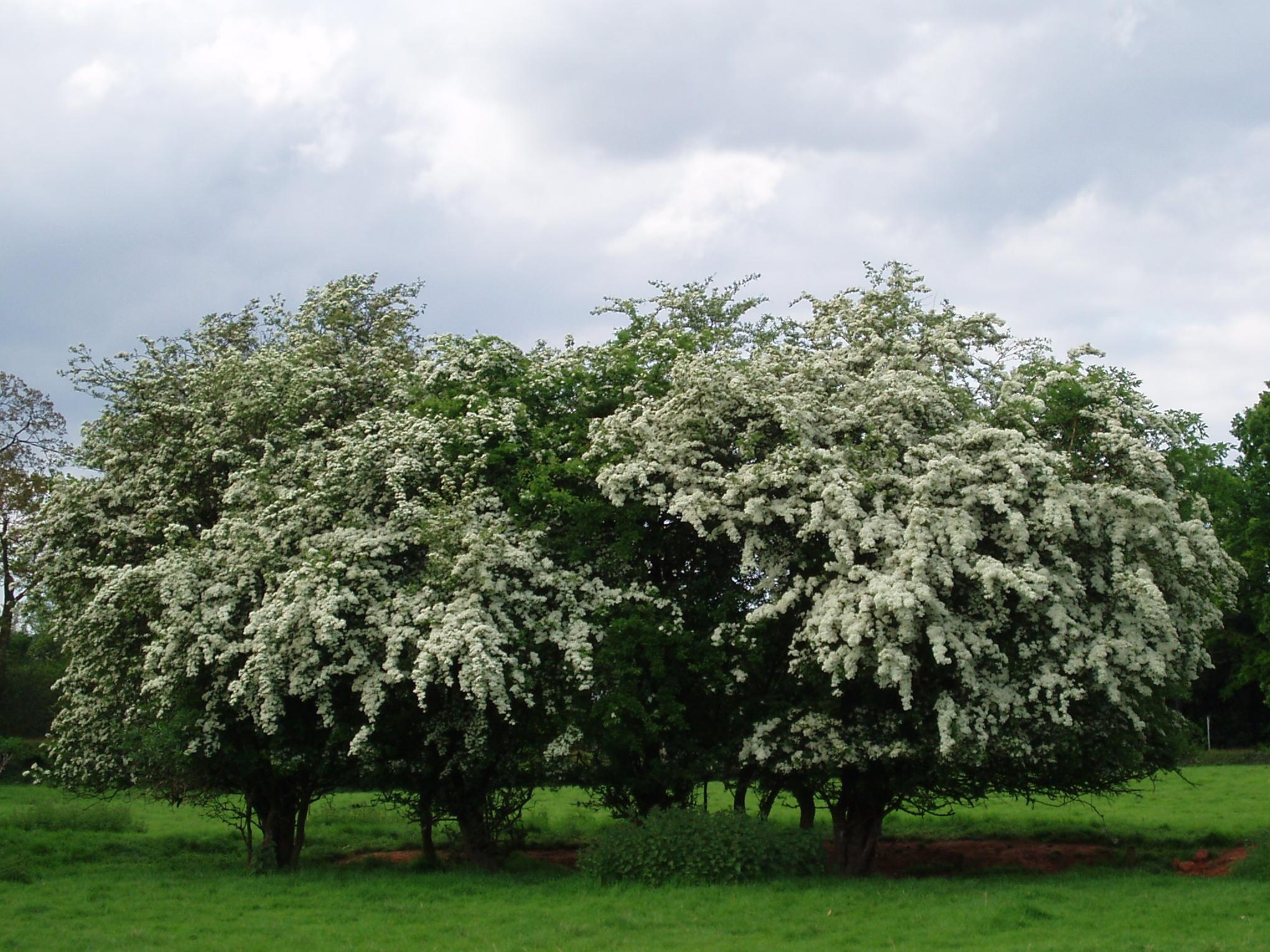 Hawthorn (Crataegus sp.) blossom, Pikers Lane, somewhere in the Allesley Village and Parish, United Kingdom. (c) Amanda Slater