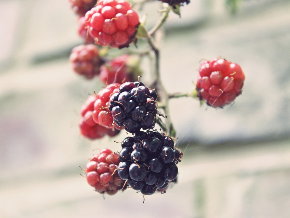 blackberries-907395_960_720